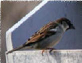 Sparrow sparrow information biology id control