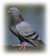 Pigeons pigeon pest pigeon information biology id control
